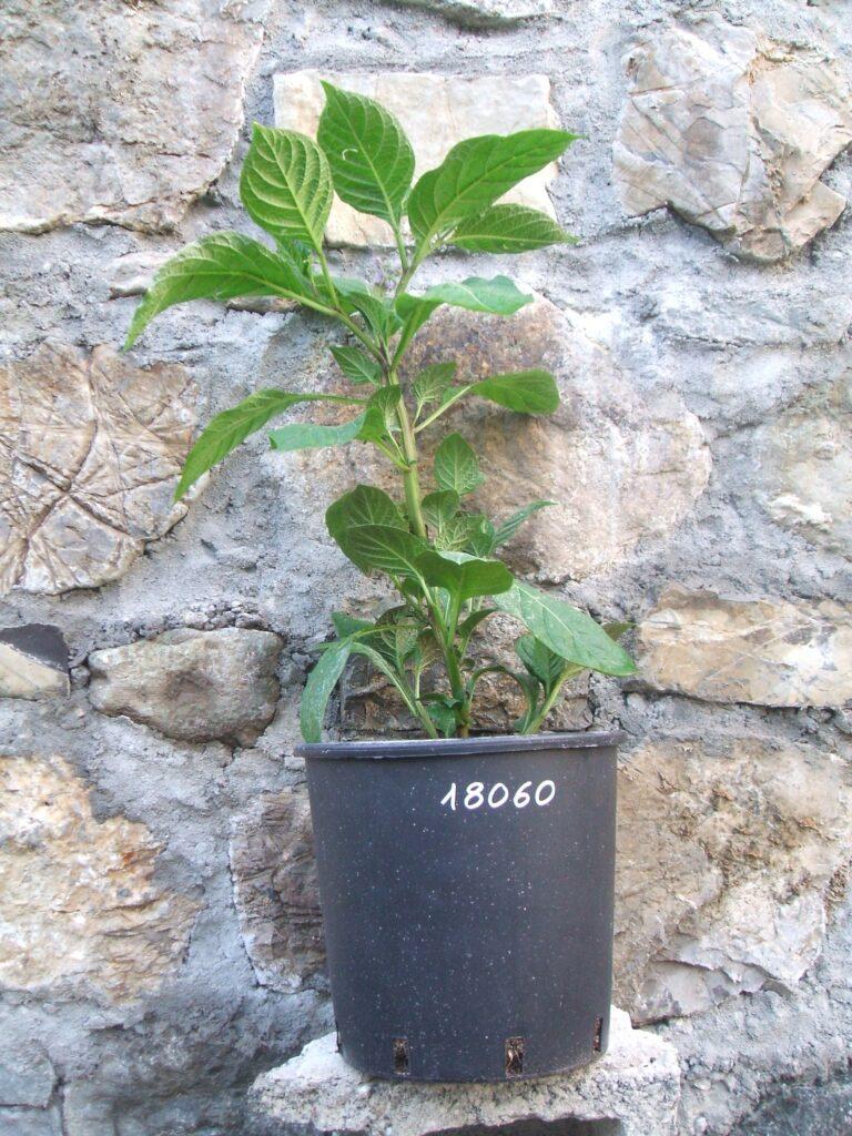 Solanum chaparense